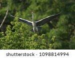 grey heron  ardea cinerea       ... | Shutterstock . vector #1098814994