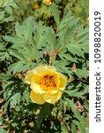 tibetan peony  paeonia delavayi ... | Shutterstock . vector #1098820019