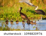 yellow billed stork  mycteria... | Shutterstock . vector #1098820976
