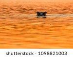 hippopotamus  hippos  in... | Shutterstock . vector #1098821003