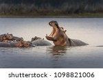 Hippopotamus  Hippos  In...