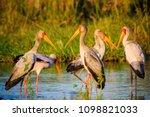yellow billed stork  mycteria... | Shutterstock . vector #1098821033