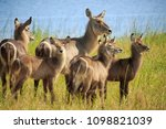 waterbuck antelope in liwonde n.... | Shutterstock . vector #1098821039