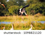 yellow billed stork  mycteria... | Shutterstock . vector #1098821120