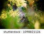 buffalos herd in liwonde n.p.   ... | Shutterstock . vector #1098821126