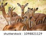 impalas herd in liwonde n.p.  ... | Shutterstock . vector #1098821129
