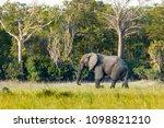 elephants herd in liwonde n.p.  ... | Shutterstock . vector #1098821210