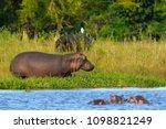 hippopotamus  hippos  in... | Shutterstock . vector #1098821249
