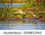 crocodile in liwonde n.p.  ... | Shutterstock . vector #1098821963