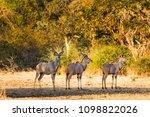 kudus herd in liwonde n.p.  ... | Shutterstock . vector #1098822026