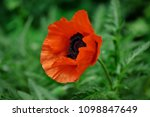 close up of red papaver flower... | Shutterstock . vector #1098847649