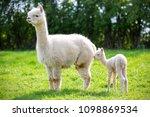white alpaca with offspring ...   Shutterstock . vector #1098869534