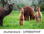 alpacas with offspring  a south ...   Shutterstock . vector #1098869549