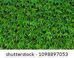 ivy texture. ivy hedge... | Shutterstock . vector #1098897053