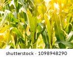 Maize Corn Organic Planting Cornfield - Fine Art prints