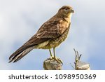 birdwatching in chiloe  chile | Shutterstock . vector #1098950369