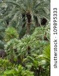 Date Palm Trees In El Huerto...