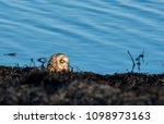 a short ear owl perched on a... | Shutterstock . vector #1098973163