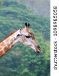 giraffe  giraffa camelopardalis ...   Shutterstock . vector #1098985058
