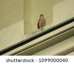common kestrel  falco...   Shutterstock . vector #1099000040
