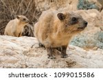 Rock Hyrax And Baby
