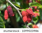 fresh mulberry  black and red... | Shutterstock . vector #1099023986