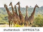 group of six giraffes in... | Shutterstock . vector #1099026716