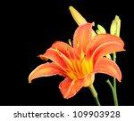 Orange Daylily  Hererocallis...