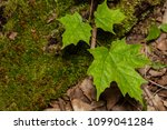 moss covered fallen trees along ... | Shutterstock . vector #1099041284