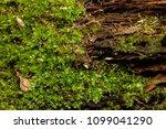 moss covered fallen trees along ... | Shutterstock . vector #1099041290