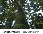 looking up the trunk of a mossy ... | Shutterstock . vector #1099041344