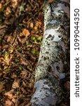 fallen tree showing woodpecker... | Shutterstock . vector #1099044350