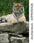 tiger  panthera tigris  | Shutterstock . vector #1099050428