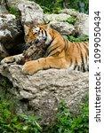 tiger  panthera tigris  | Shutterstock . vector #1099050434