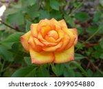 beautiful orange rose in nature | Shutterstock . vector #1099054880