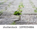 bellis perennis is a common... | Shutterstock . vector #1099054886