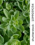 green succulent organic plant | Shutterstock . vector #1099059254