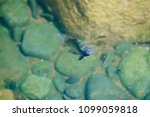 fish swimming in pond | Shutterstock . vector #1099059818
