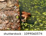 juvenile cottonmouth snake | Shutterstock . vector #1099060574