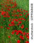 summer sunset at red field of... | Shutterstock . vector #1099068608