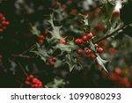holly bush tree | Shutterstock . vector #1099080293