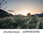 tall grass field as the sunset... | Shutterstock . vector #1099093598