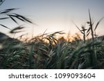 tall grass field as the sunset... | Shutterstock . vector #1099093604