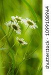 daisy flower  bellis perennis ... | Shutterstock . vector #1099108964