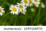daisy flower  bellis perennis ... | Shutterstock . vector #1099108970