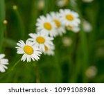 daisy flower  bellis perennis ... | Shutterstock . vector #1099108988