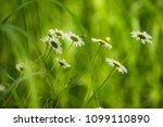 daisy flower  bellis perennis ... | Shutterstock . vector #1099110890