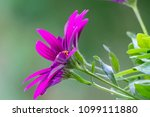 floral bacground  african daisy ... | Shutterstock . vector #1099111880