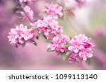 gentle pink flowers on a branch.... | Shutterstock . vector #1099113140