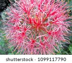 powder puff lily is a name of... | Shutterstock . vector #1099117790